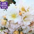 薔薇(バラ)苗木の販売店【花育通販】マリーアン・ドゥ・ラマルティーヌ