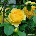 薔薇(バラ)の苗木を販売 グラハム・トーマス