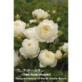 薔薇(バラ・ばら)の苗木を販売クレア・オースチン