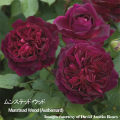 薔薇(バラ・ばら)の苗木を販売ムンステッド・ウッド