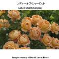 薔薇(バラ・ばら)の苗木を販売レディー・オブ・シャーロット