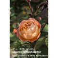 薔薇(バラ・ばら)の苗木を販売レディー・エマ・ハミントン