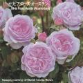 薔薇(バラ)苗木の販売店【花育通販】イングリッシュローズ・オリビアローズオースチン