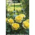 薔薇(バラ)苗木の販売店【花育通販】イングリッシュローズ ザ・ポエッツ・ワイフ