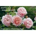薔薇(バラ)苗木の販売店【花育通販】イングリッシュローズ ストロベリーヒル