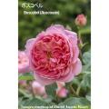 薔薇(バラ)苗木の販売店【花育通販】イングリッシュローズ ボスコベル