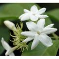 エキゾチック(トロピカル)プランツの販売店【花育通販】熱帯植物ジャスミン・マツリカ(ピカケ)の苗を販売しています