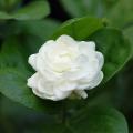 エキゾチック(トロピカル)プランツの販売店【花育通販】熱帯植物ジャスミン・八重マツリカ(ローズピカケ)の苗を販売しています