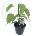 エキゾチック(トロピカル)プランツの販売店【花育通販】熱帯植物スリーマハーボダイジュ(インドボダイジュ)の苗木を販売しています