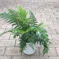 熱帯植物・熱帯果樹の販売店【花育通販】ディクソニアの苗を販売