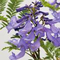 矮性ジャカランダ「ブルーブロッサムビューイング」の苗を販売【花育通販】