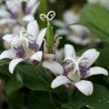 山野草・高山植物の苗の販売店【花育通販】ホトトギス「紫酔」の苗を販売