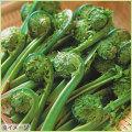 山菜・コゴミ(こごみ)の苗を販売