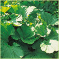 山菜・秋田蕗(あきたふき)の苗を販売