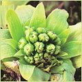 山菜・蕗の薹(ふきのとう)の苗を販売