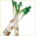 山菜・山ウド(ヤマウド)の苗を販売