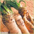 山菜・わさび大根の苗を販売