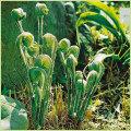 山菜・薇(ゼンマイ)の苗を販売