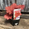 ヒューケラ(ツボサンゴ) ファイヤーアラームの苗を販売【花育通販】カラーリーフプランツ