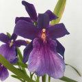洋ラン「ミルトニア・スペクタビリス-Miltonia Spectabilis」を販売【花育通販】