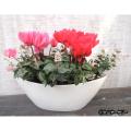 季節の花鉢販売店【花育通販】シクラメン&初雪かずらの寄せ植えを販売しています。