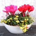 季節の花鉢販売店【花育通販】シクラメン&テイカカズラ・黄金錦の寄せ植えを販売しています。
