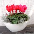 季節の花鉢販売店【花育通販】シクラメン&プラティーナの寄せ植えを販売しています。