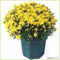 秋の花苗(多年草・宿根草)ガーデンマムを販売