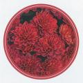 秋の花苗(多年草・宿根草)ミスティックガーデンマム・レッドを販売
