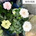 薔薇(バラ) ミニバラ・グリーンアイスの苗