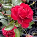 薔薇(バラ)  トゥルーブルーム・レッドキャプテンの苗