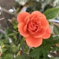 薔薇(バラ)の苗木「ミニバラ・テディベア」