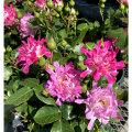 薔薇(バラ)の苗木 シーアネモネ(SP/スプレー系/切り花)
