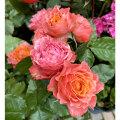 薔薇(バラ)の苗木 トロピカルレイン(SP/スプレー系/切り花)