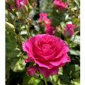 薔薇(バラ)の苗木 エンジェルローラ(SP/スプレー系/切り花)