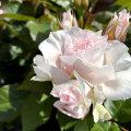 薔薇(バラ)の苗木 カンタータ(SP/スプレー系/切り花)