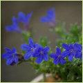 多年草(宿根草)ブルームス(Blooms)苗の販売店