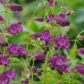 多年草(宿根草)「ペンステモン」の苗を販売【花育通販】
