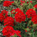 多年草(宿根草)「バーベナ」の苗を販売【花育通販】