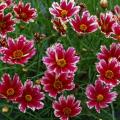 コレオプシスの苗【花育通販】多年草宿根草の販売店