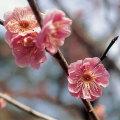 盆栽苗木の販売店【花育通販】八重寒紅梅を販売