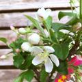 深山カイドウ鉢植えを販売