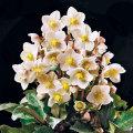 クリスマスローズの販売店【花育通販】ヘレボラス「HGCシューティングスター」の苗を販売