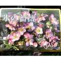 クリスマスローズ(ヘレボラス)苗 「Ice N'roses 氷の薔薇(コオリノバラ)ローズ」4.5号