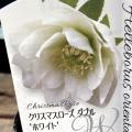 クリスマスローズ・オリエンタリスの苗「ダブル ホワイト」
