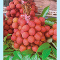 エキゾチック(トロピカル)プランツの販売店【花育通販】熱帯果樹レイシ(ライチ)・黒葉種(コクヨウシュ)苗木5号鉢植えを販売
