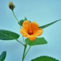 熱帯植物「イリマ(ロイヤルレイ)」の苗を販売【花育通販】
