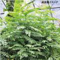カレーの木(カレーリーフ)の苗を販売【花育通販】