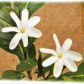 ティアレタヒチ(タヒチクチナシ)の苗
