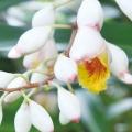 月桃(ゲットウ/シェルジンジャー)の苗